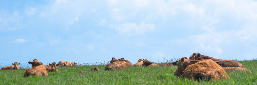 A few cows relaxing on the field