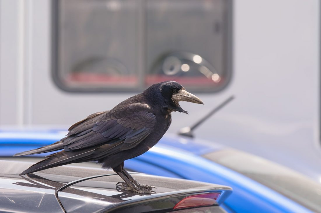 A crow awaits the leftovers of travelers