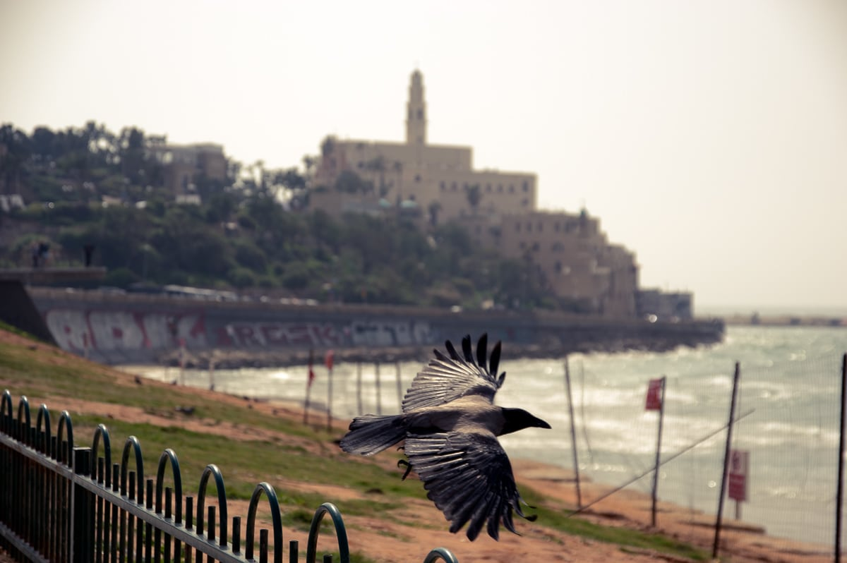 A day in Tel Aviv crow