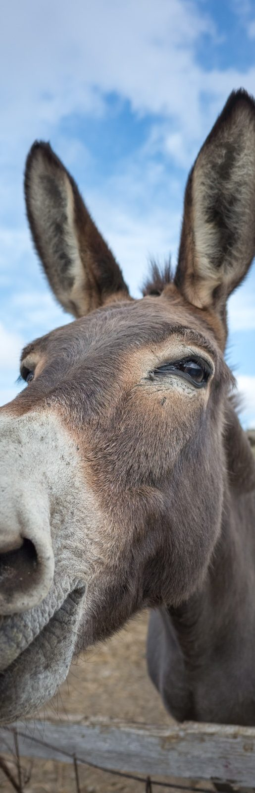 Syros Donkey